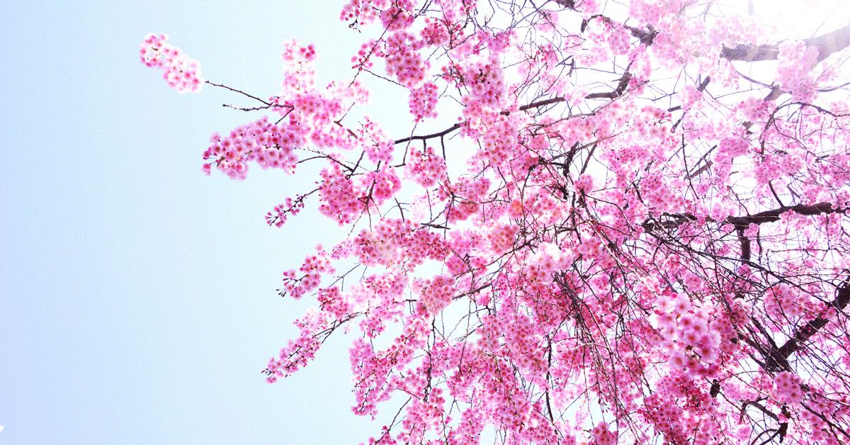 城端しだれ桜祭り