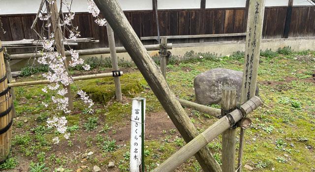富山県南砺市城端別院善徳寺の枝垂れ桜「富山さくらの名木」