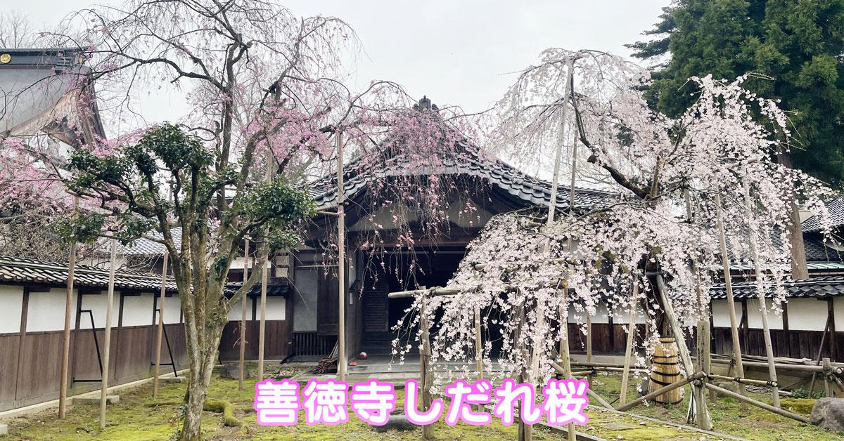 【城端しだれ桜まつり】城端別院善徳寺の枝垂れ桜【限定公開】