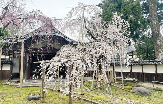 富山県南砺市城端別院善徳寺の枝垂れ桜