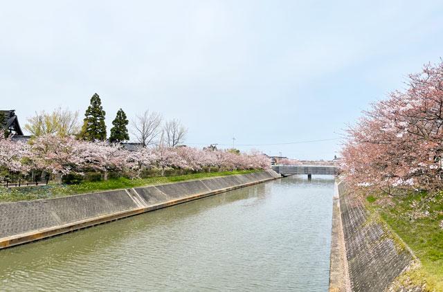 「鏝絵と下条川千本桜まつり」の下条川と桜並木
