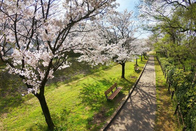 富山市の呉羽山公園・都市緑化植物園の桜とベンチ