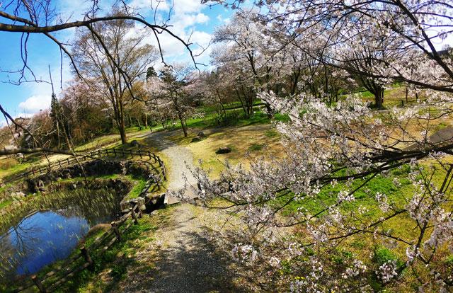 富山市の呉羽山公園・都市緑化植物園の桜「エドヒガン」