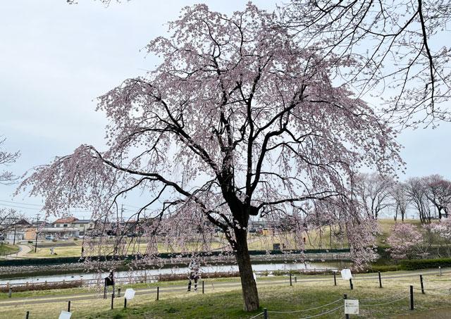 富山市の呉羽山公園・都市緑化植物園の新種の桜「クレハオトメシダレ」
