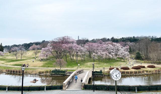 富山市の呉羽山公園・都市緑化植物園の桜「エドヒガン」の群生