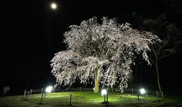 富山市の呉羽山公園・都市緑化植物園の新種の桜「クレハオトメシダレ」ライトアップ