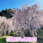 【魚津のしだれ桜】長引野の桜がキレイすぎる【場所や駐車場】