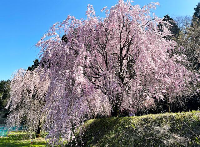 富山県魚津市長引野のしだれ桜のアップ