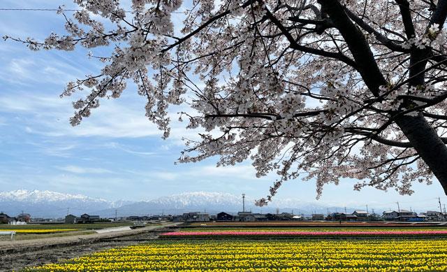 富山県入善町の「入善フラワーロード」桜とチューリップと立山の三重奏