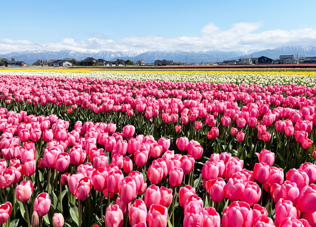 富山県入善町の「入善フラワーロード」のチューリップのアップ写真