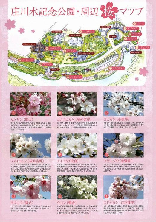 砺波市の庄川水記念公園の周辺の桜マップ