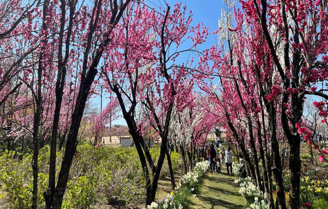 魚津市「花の森 天神山ガーデン」の並木道
