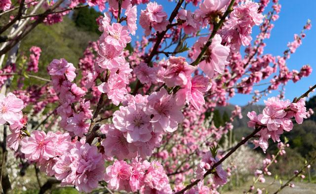 富山県黒部市宇奈月「弥太蔵発電所跡」のピンク色のハナモモ