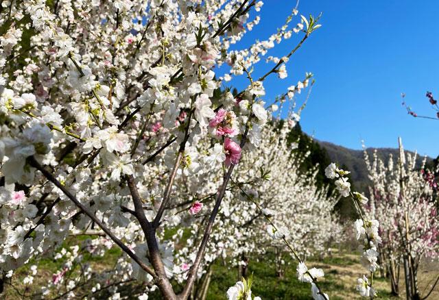 富山県黒部市宇奈月「弥太蔵発電所跡」の白色のハナモモ