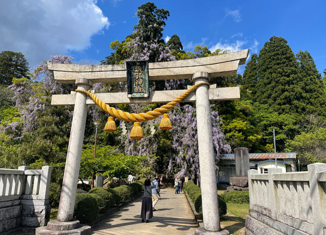富山県氷見市ヤマフジの花で有名な「磯部神社」の鳥居
