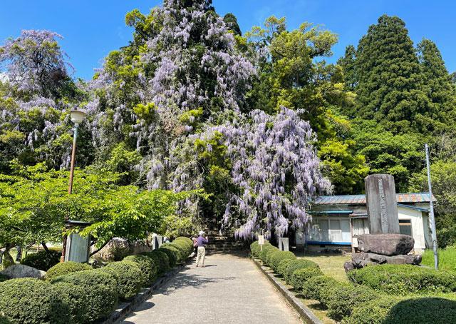 富山県氷見市ヤマフジの花で有名な「磯部神社」の藤の花の風景