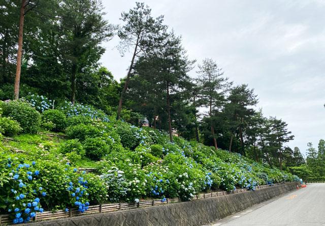 あじさい祭りin太閤山ランドの一面の紫陽花