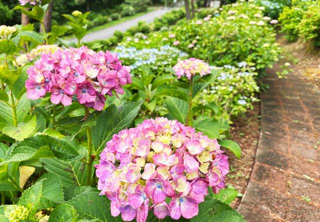 あじさい祭りin太閤山ランドの紫陽花アップ