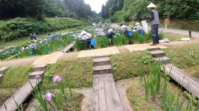 富山県砺波市の「頼成の森 花しょうぶ祭り」の花摘みの高齢者