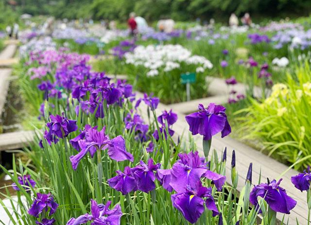富山県砺波市の「頼成の森 花しょうぶ祭り」の花しょうぶ