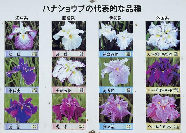 富山県砺波市の「頼成の森 花しょうぶ祭り」の花しょうぶの種類