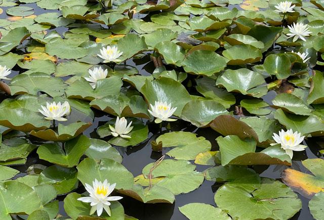 富山市婦中町の史跡安田城跡の水蓮の開花(アップ)