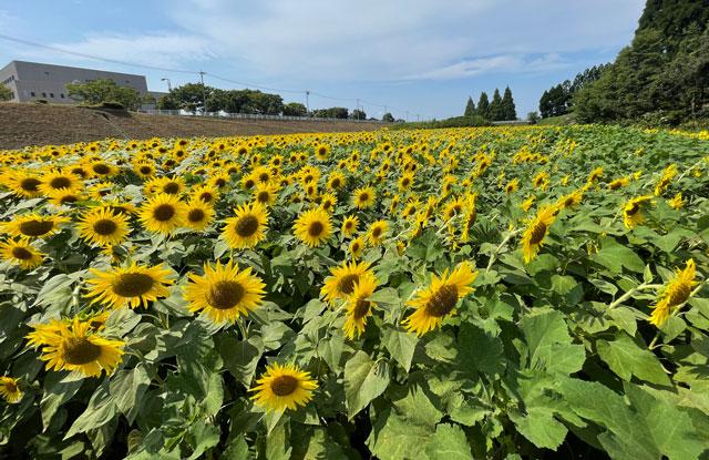 富山県射水市「富山県立大学」のひまわり畑一面