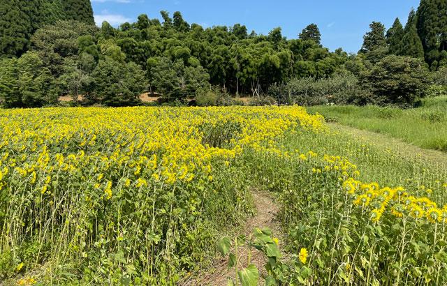 富山県射水市「富山県立大学」のひまわり迷路の道