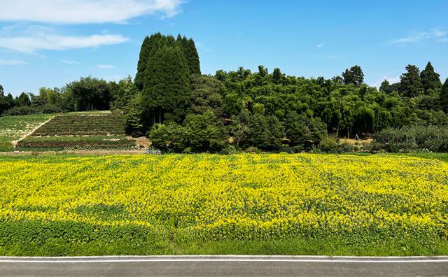富山県射水市「富山県立大学」のひまわり迷路全体