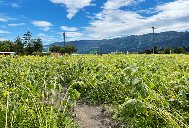 富山県南砺市桜ヶ池クアガーデンのひまわり畑の倒れたヒマワリ