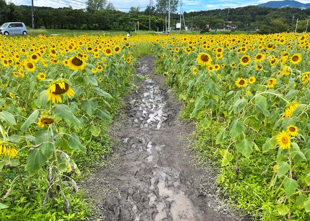 富山県南砺市桜ヶ池クアガーデンのひまわり畑のぬかるみ