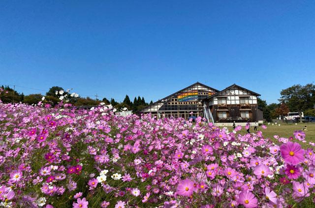 砺波市の夢の平スキー場で開催される「となみ夢の平コスモスウォッチング」のコスモス荘